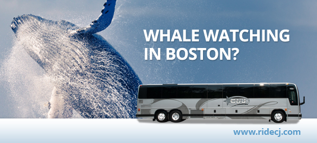 Whale Watching in Boston